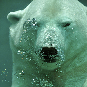 A polar bear floating underwater
