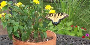 Tiger Swallowtail butterfly resting on a potted plant