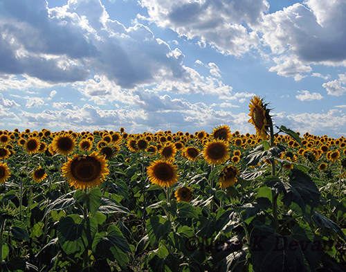 A field of sunflowers with one flower towering over the others.