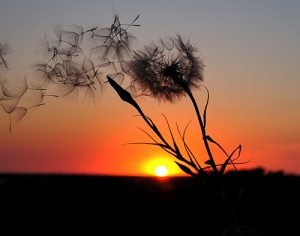 With a beautiful sunset of brilliant red in the background, a dandelion in the foreground has gone to seed, with seeds wafting in the breeze.