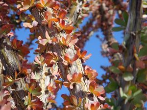 A close shot of crimson leaves lining an ocotillo -- a dessert plant.