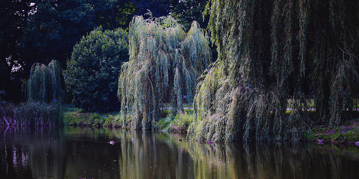 Willow tree with branches hanging into a brook.