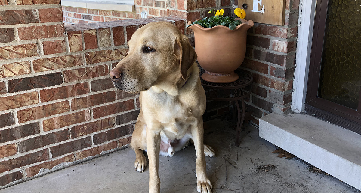 Kathy's guide dog, Rowen, patiently waiting on the front porch during the coronavirus