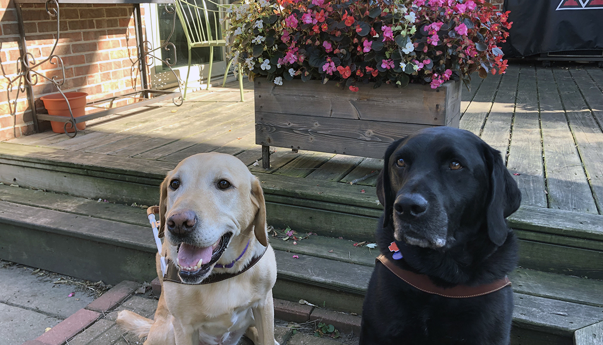 Two dogs from Guide Dogs for the Blind Guide Dog School: Rowan, an active guide, is a yellow lab and Weller, a retired guide, is a black lab.